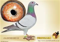 Out of Africa Lofts   Buy Racing Pigeons, Auctions, Results