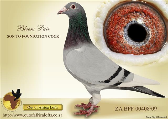 Racing pigeons breeding methods - photo#5